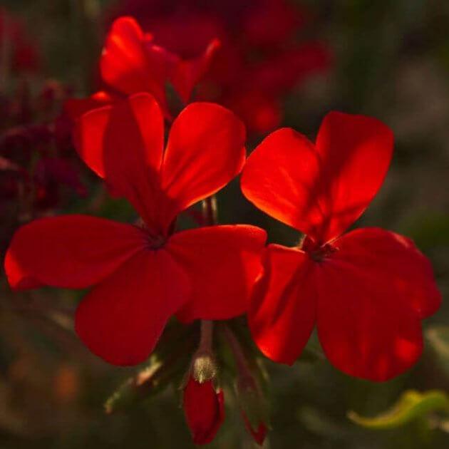 Kleepura Biodünger für Geranien