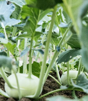 Gemüsedünger Kleepura