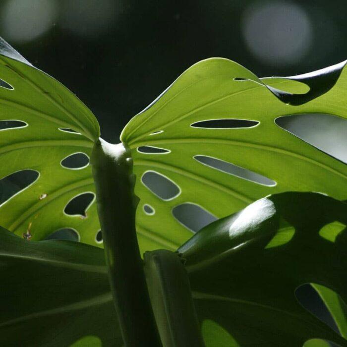 Biodünger für Monstera Pflanzen