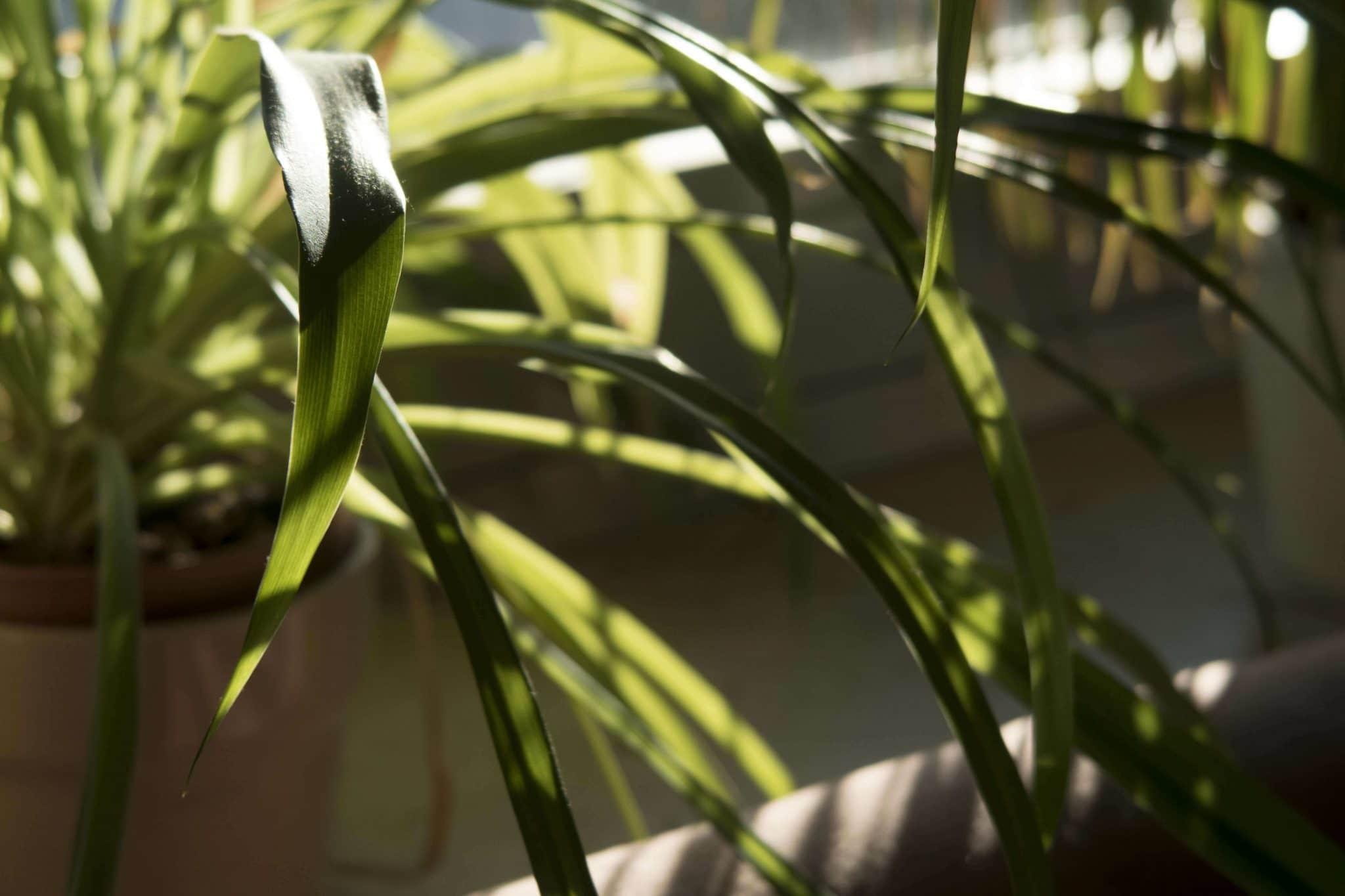 gruenlilie_komp