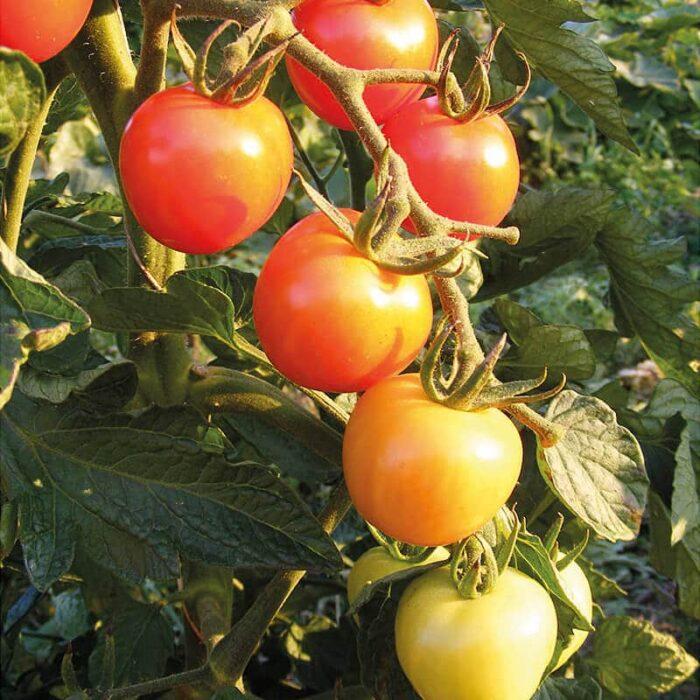 Saatgut Tomate Primabella