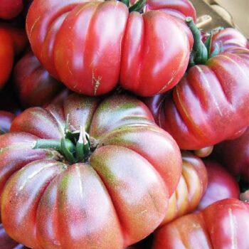 Saatgut Tomate Purple Calabash
