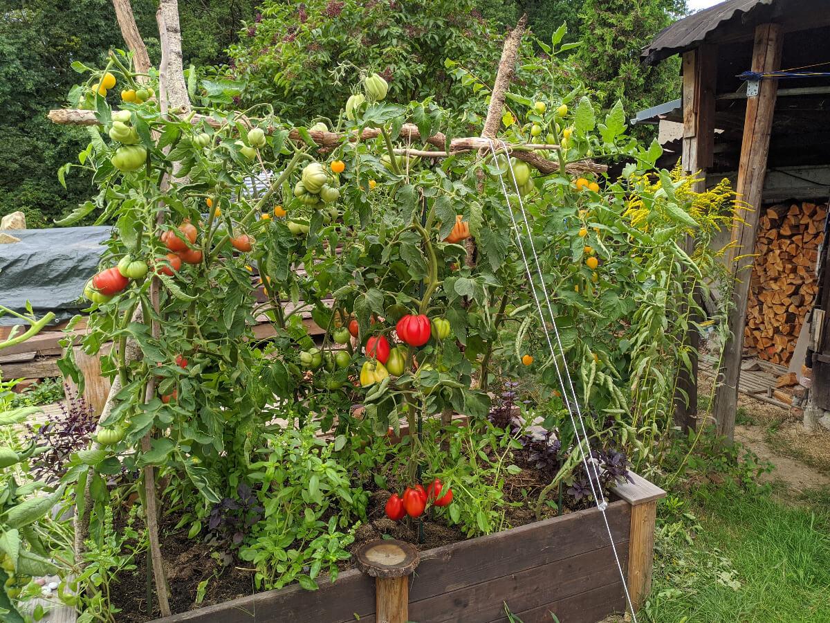Hochbeet mit Tomatenpflanzen an Stangen, unterpflanzt mit Basilikum