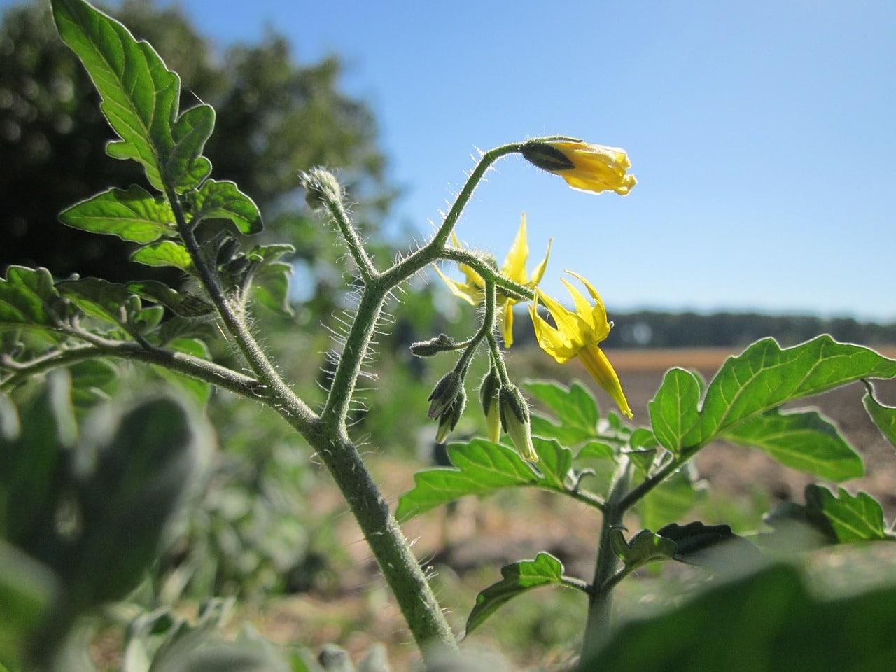 Gelbe Tomatenblüte im Freien mit blauem Himmel