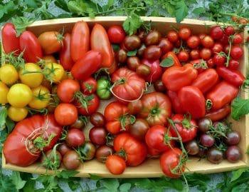Sommerliche Tomatenernte verschiedener Sorten - gelb, rot, schwarz