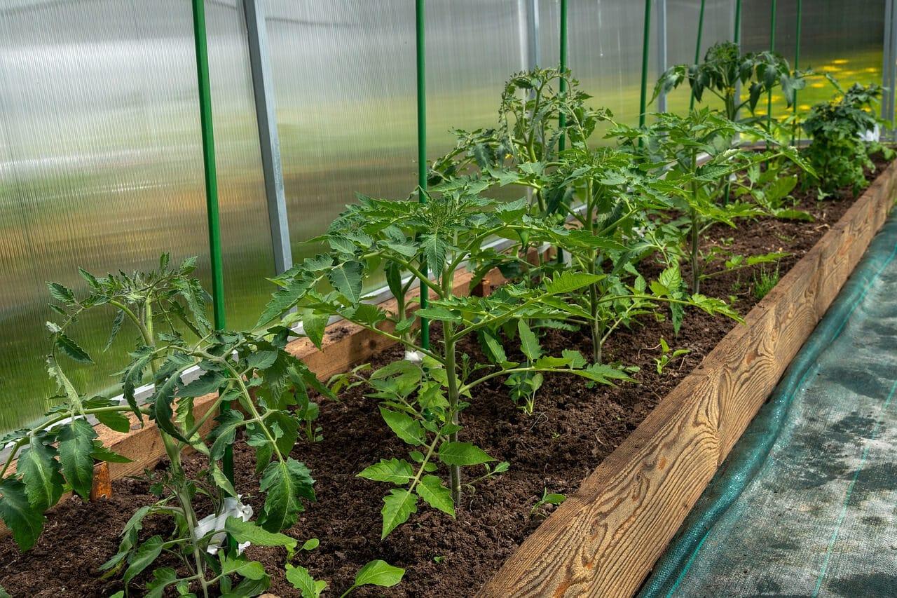 Tomatenpflanzen im GEwächs, ca. 50 cm hoch, an grünen Plastikstangen angebunden