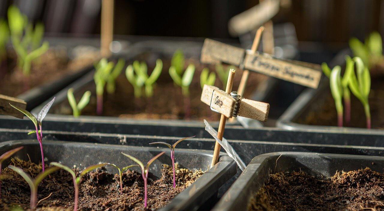 Jungpflanzen mit dem Keimblattpaar sind zu sehen; Beschriftung erfolgt durch Holzklammern