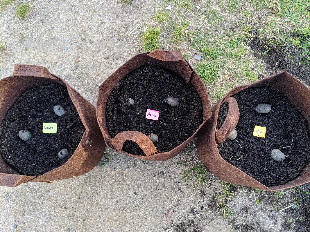 Zu sehen sind, drei Pflanzsäcke, die zu zweidrittel mit Erde gefüllt sind und auf denen in gleichmäßigen Abstand je drei Kartoffeln mit Keimen liegen.