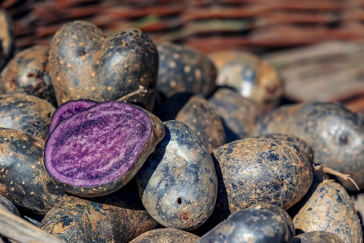 Lila Kartoffel mit fast schwarzer Schale, gilt unter den Feinschmeckern als Delikatesse!