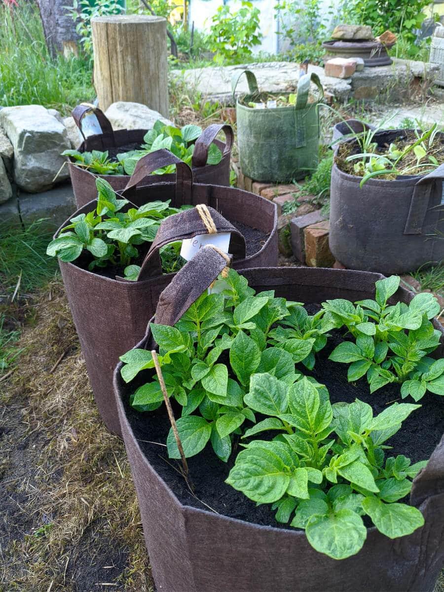 zu sehen sind 3 große braune Pflanzsäcke aus denen jeweils Kartoffelpflanzen heraus schauen. Im Hintergrund ein Hackeklotz, rechts daneben zwei kleinere Pflanzsäcke mit Sommerblumenpflanzen, die noch nicht blühen.