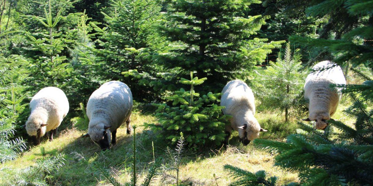 Schafe in einer Nadelbaum-Schule