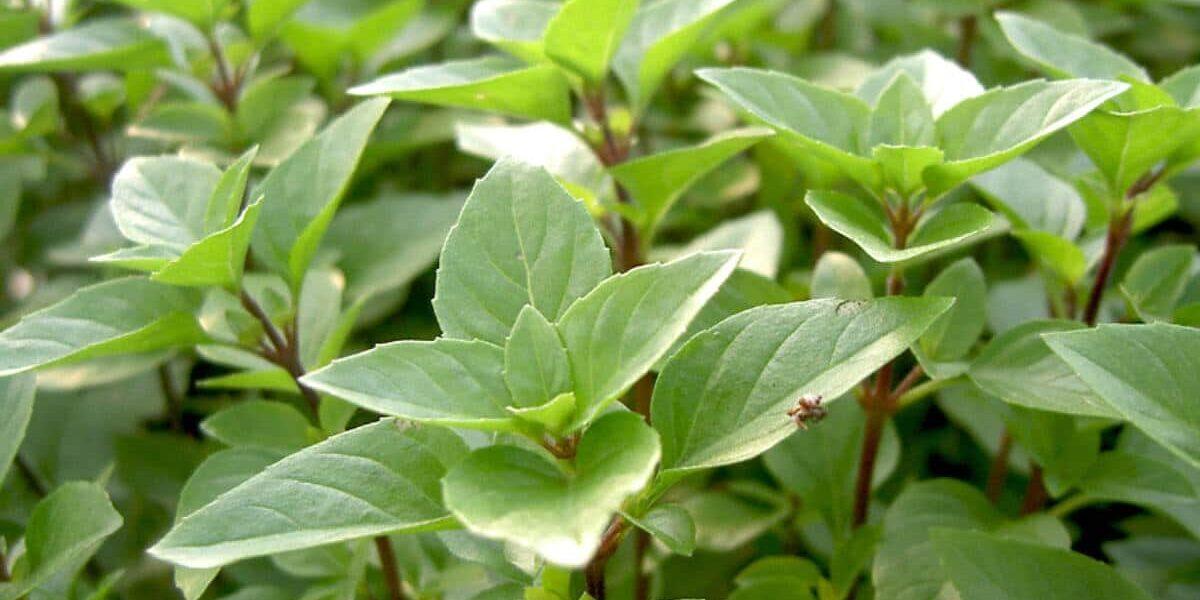 grüne Blätter, rote Stängel