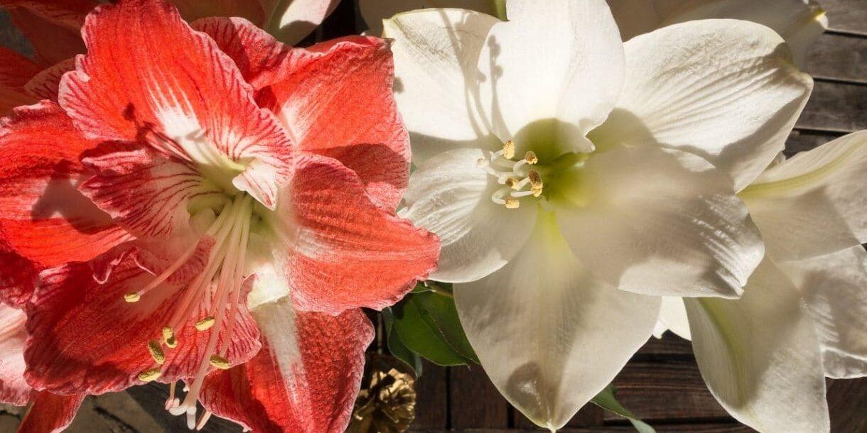 weiße und rote Blüte