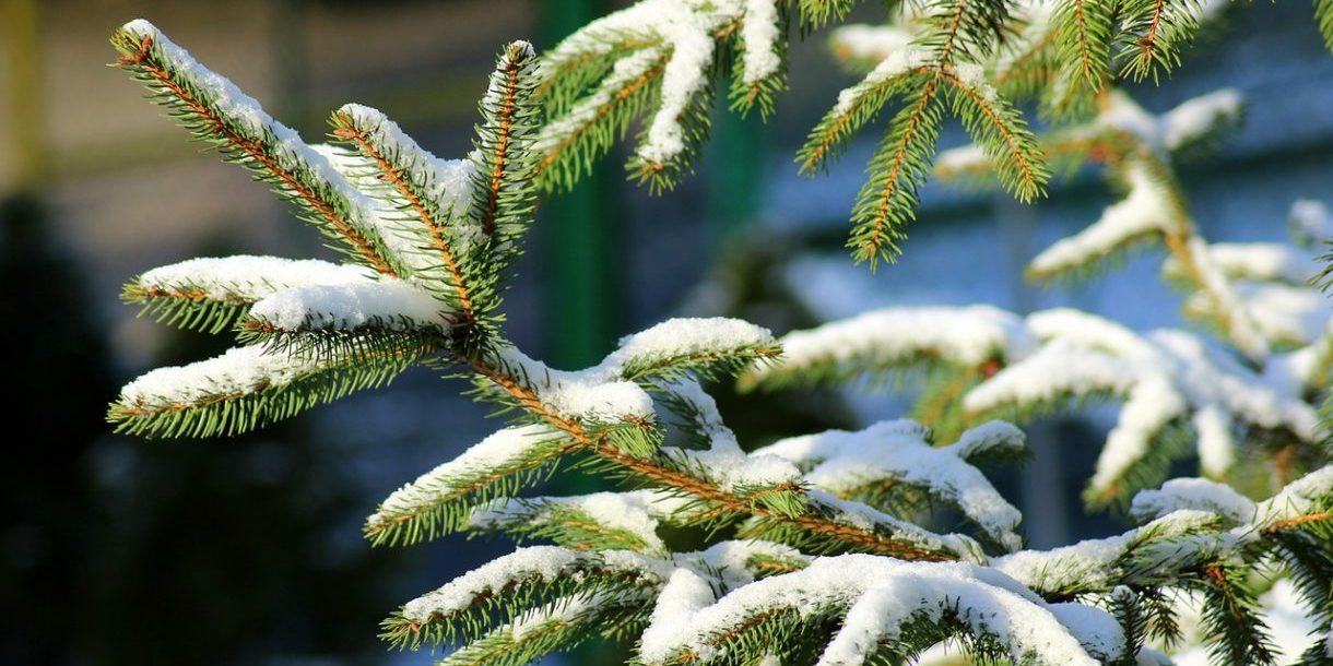 Nadelbaum-äste mit Schnee bedeckt