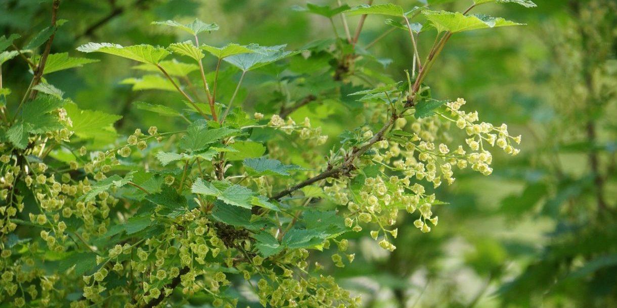 currant-bush-179651_1280
