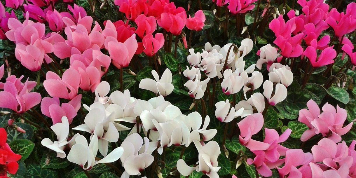 Blumenbeet, rosa, weiß, rot