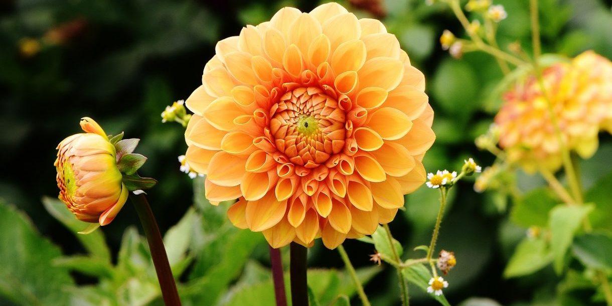 Gelbe Blüte , Dahlia