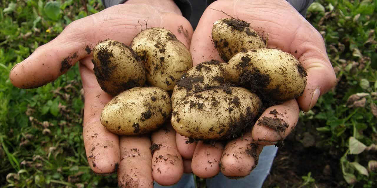 länglich geformte Kartoffeln, mit hellgelber Schale, direkt nach der Ernte in der Hand des Gärtners*in, noch mit Erde