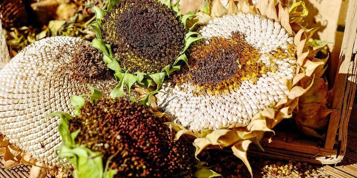 Herbst Sonnenblumen im Garten