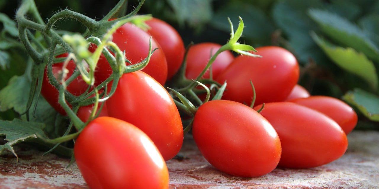 rote Tomaten, noch an der Pflanze warten auf die Ernte