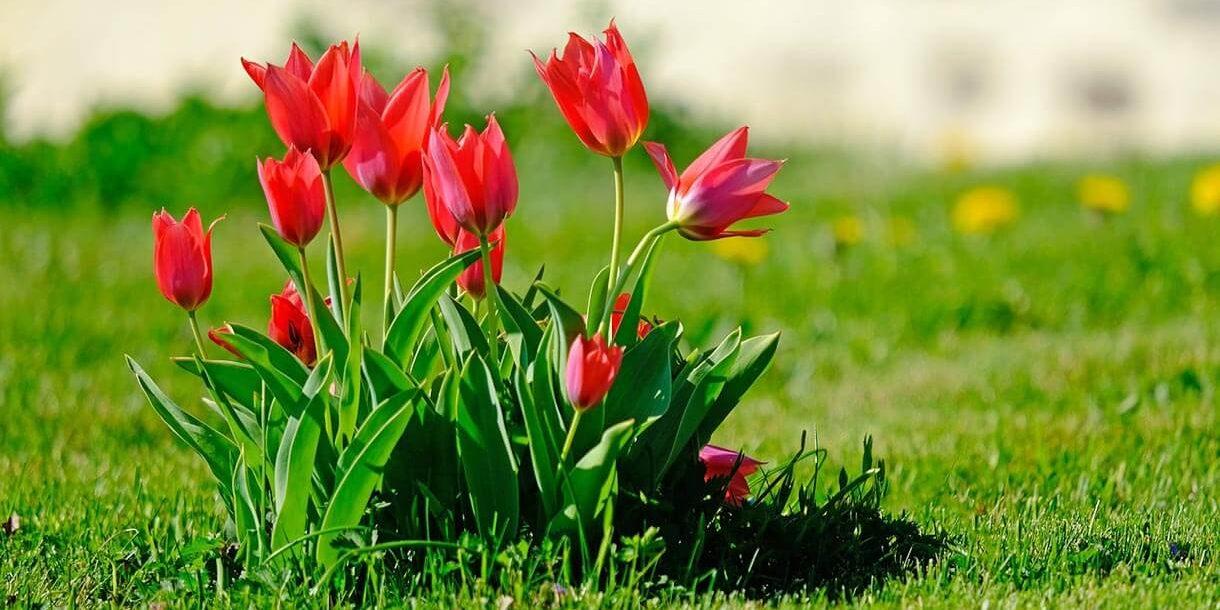 Tulpen Frühblüher