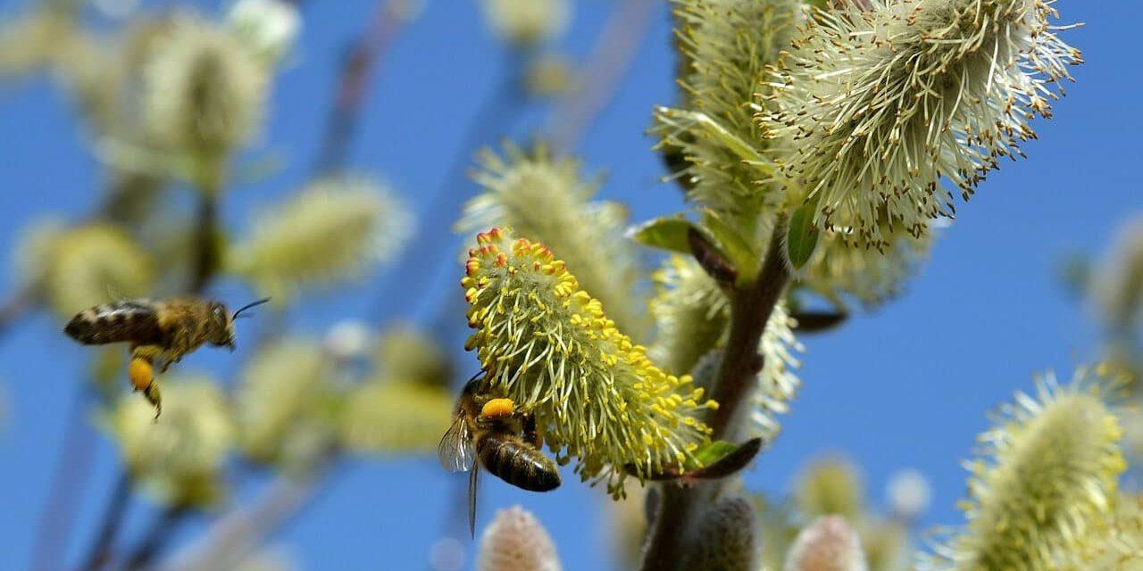 Bienen fliegen an Weidenblüten,die besetzt sind mit Pollen