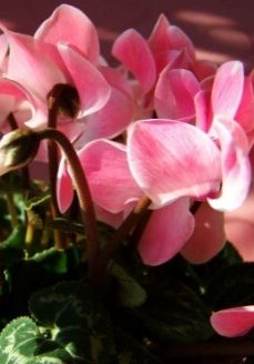 zimmerpflanzen-kleepura
